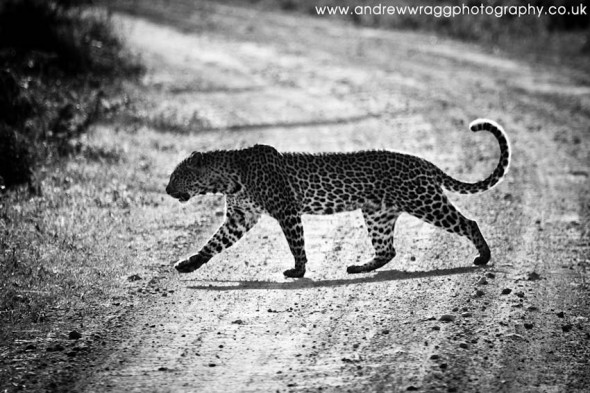 Leopard crossing the track