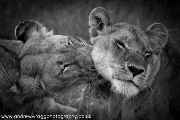 Lionesses playing together